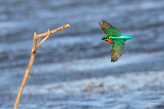 bonjour Mr Martin (Fabienne G) Tags: birds animals nature wildlife marais canon eos5d swamp kingfisher