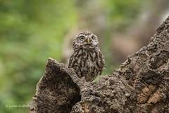 What was that? D75_9919.jpg (Mobile Lynn - Limited internet) Tags: nature owls birds littleowl bird fauna strigiformes wildlife nocturnal otterbourne england unitedkingdom gb coth specanimal coth5 ngc sunrays5 npc