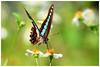 青帶鳳蝶   Graphium sarpedon (Common bluebottle) (Alice 2017) Tags: 2017 hongkong bokeh green butterfly canon canoneos7d eos7d nature canonef70200mmf4lisusm plant autumn flower insect 1500v60f favorites150 aatvl01 aatvl02