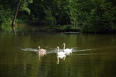 summer moods (JoannaRB2009) Tags: summer mood swan family bird birds swans water pond reflections forest nature plants trees dziewiętlin dolnyśląsk dolinabaryczy polska poland animals green