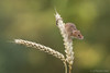 Another wee harvest mouse.. (Sue MacCallum-Stewart) Tags: harvestmouse mice small tiny wheat nature wildlife british