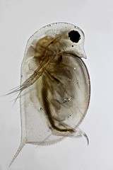 Daphnia (mr.sansibar) Tags: olympusbh2 planapo plankton zooplankton cladocera crustacea photomicrography microscopy polarizedlight waterflea