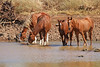 Thirsty (aussiegypsy_top end Northern Territory) Tags: boulia brumby brumbies horses outback animal water river burkeriver drink drinking thirst thirsty isolated remote bunch group mob healthy horseplay playing hot heat australia australian aussie aussiegypsy northern channelcountry qld queensland western