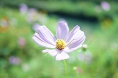 Cosmic (somazeon) Tags: flower cosmos panasonic lumix gm5 花 コスモス autumn