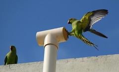 Smile Please !    Click !! (Sriini) Tags: indianringneckparakeet india parakeet parrot flickr green nikon nikkor