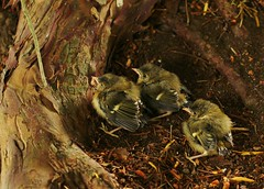 Baby chicks (Jess Roberts7) Tags: birds babies feathers fluffy tree roots brown