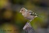 xxD40_9190 (Eyas Awad) Tags: eyasawad nikond4 sigma500f45 nikond800 nikonafs300mmf4 bird birds birdwatching wildlife nature fringuello fringillacoelebs