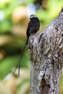 Colonia colonus / Long-tailed Tyrant / Atrapamoscas Rabijunco
