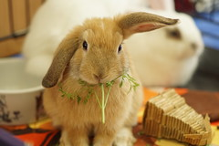 Rabbit Fest 2017 (Tjflex2) Tags: bunny bunnies lapin lagomorpha lagomorph conejo rabbit rabbitfest vancouver bc cute cuddly fuzzy furry animals vrra wwwvrraorg