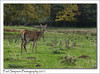 A Red Deer (Paul Simpson Photography) Tags: reddeer deer nature normanbypark scunthorpe lincolnshire sonya77 paulsimpsonphotography october 2017 autumn mammal naturalworld imageof imagesof photosof photoof england uk animal grass field woodland wildlife