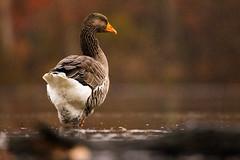 Mother Goose (brendon_curtis) Tags: canon 7dmkii eos ef sigma 150600 150600mm 600mm super telephoto long lens os ducks goose heron bird birds water hawk sky bad light overcast fine art artsy fartsy