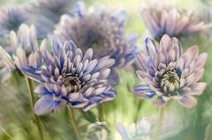 Autumn flowers (bresciano.carla) Tags: helios442 pentax pentaxk500 autumn flower flowers vintagelens bokeh light m42 manuallens macro pentaxart