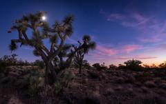 Arizona Joshua Tree (CEBImagery.com) Tags: alamos arizona astro cactus desert joshua moon moonscape ranch southwest stars sunset timelapse tree tress