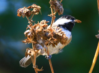 black-capped chickadee eating rosinweed seed at Lake Meyer Park IA 854A7695