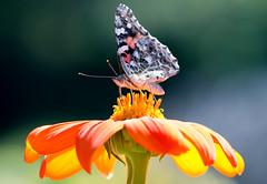 Señora pintada (Ste.Baz) Tags: senorapintada paintedlady belledame mariposa butterfly papillon summer ete sol soleil