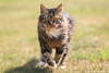 Running cat (Alexandre D_) Tags: canon eos 70d ef85mmf18usm 85mm 85mmf18 usm cat cats chat gato katze running runner run motion movement move sun sunnyday wideopen nature natural naturallight beautiful earth billymontigny nord pasdecalais hautsdefrance france french follow animal animals pet pets felin feline fluffy nice eyes green colors color colour colours couleur farben grass gazon astoundingimage