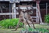 Roos fighting at the Donnelly River timber mill (Gasgaslex) Tags: donnellyriver abandoned historic kangaroos roo australia mill timber