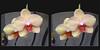 Longwood Gardens Flowers 14 - Crosseye 3D (DarkOnus) Tags: pennsylvania bucks county panasonic lumix dmcfz35 3d stereogram stereography stereo darkonus longwood gardens flowers scenic scenery flower botanical garden orchid orchids macro oob outofbox crosseye