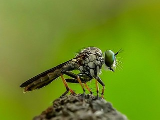 Roofvlieg - Robber fly - Asilidae