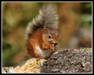 IMG_0164 Red Squirrel