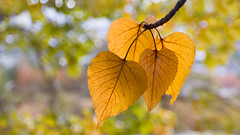 cottonwood leaves (marianna_a.) Tags: pa050010 montana usa autumn fall tree bokeh hbw light colour mariannaarmata