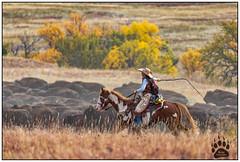 Custer State Park Buffalo Roundup 092917-5081-W.jpg (RobsWildlife.com © TheVestGuy.com) Tags: buffalo ©2017robswildlifecom canoncamera falls robswildlifecom nationalpark 092917 canon cowboys bisonroundup bison naturelovers robsoutdoorphotography custerstatepack rmnp scenic buffaloroundup robdaugherty fallfoliage naturephotography nature robswildlife