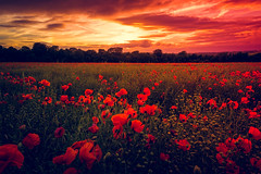 Poppy Delight (spiderstreaky) Tags: sky natural passion bigsky delicate farm sunset countryside red beautiful vivid nature fresh field sun golden cotswolds beauty sundown summer flowers delightful