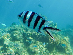 Great Barrier Reef (globetrotter_75) Tags: australia animals australia2017 greatbarrierreef gekauft fish bogie queensland au
