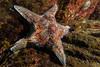 Leather Star (Dermasterias imbricata) (jonmcclintock) Tags: underwater sunshinecoast travel britishcolumbia canada adventure scuba diving strongwater