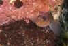 Blackeye Goby (Rhinogobiops nicholsii) (jonmcclintock) Tags: adventure diving travel britishcolumbia bc canada scuba underwater strongwater