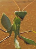 Mantis (markb120) Tags: mantis insect bug hexapod flyer flier green verdant lawny vealy virid head mandibles antennae tendril barbel cirrus antenna feeler tentacle eye leg pseudopupil