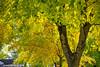 My Neighbor's Yard (jimgspokane) Tags: autumn fall mapletrees spokanewashingtonstate otw