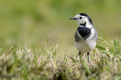 Pied Wagtail (geraintparry) Tags: south wales southwales nature geraint parry geraintparry wildlife cardiff forestfarm forest farm close closeup sigma sigma150600 150600 150600mm d500 nikond500 bird birds wagtail wagtails pied black white grass