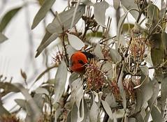 Hot Topic in town (OM-Digital) Tags: scarlet honey eater scarlethoneyeater myzomelasanguinolenta 2017 oct churchill np vic melbourne australia olympus omd 300mm 420mm tc14 mft m43 red hot