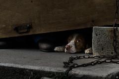 Too Short pt. II (Cle Manuel) Tags: puppy dog animals pets france clemanuel cute funny street streetphotography hundeblick hundefotografie hundefotograf tierfotografie cle manuel erlangen