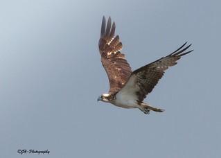 Flying Beauty Osprey