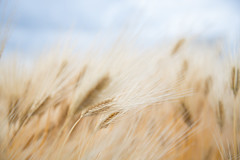 TUV_1806 (vanthuane10cn_ptit92) Tags: beautiful dreamy nature best art artistic shot amazing place colors excellence grown wheat flower