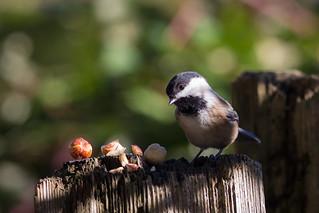 Chickadee enjoying some hazelnuts