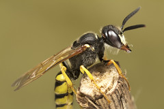 Beewolf (Philanthus triangulum) (Scrubmuncher) Tags: insect wasp hymenoptera philanthus beewolf crabronidae solitarywasp predator honeybee