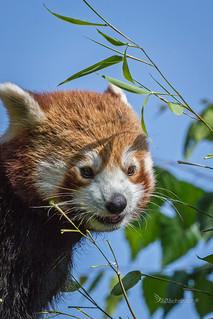 Rød Panda - Red Panda - Ailurus fulgens -  Københavns ZOO - DK-8258