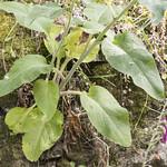 Digitalis purpurea subsp. purpurea L. thumbnail