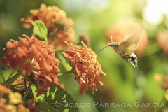 BUTTERFLY HUMMINGBIRD (.Jorge.) Tags: nature insect macro pollen flower garden color mariposa colibrí macroglossa stellatarum naturaleza insecto polen flor jardin butterfly hummingbird