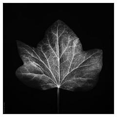 leaf (B.Graulus) Tags: photography picture photo ivy leaf plant monochrome klimop blad blackandwhite belgium texture dark zwartwit belgië belgique bw
