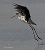 L'envol (PACHA23) Tags: bassindarcachon échassier viesauvage faune wildlife échasse
