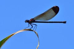 Damselfly (luporosso) Tags: libellula damselfly damigella damselflies insect insetto allaperto natura nature naturaleza naturalmente nikon nikond500 abigfave