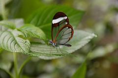 Glasswing Butterfly (Greta oto) (Seventh Heaven Photography) Tags: glasswing glass wing butterfly gretaoto greta oto nikond3200 danainae glasswinged winged insect chester zoo cheshire england