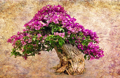 Bougainvillea Bonsai (FotoGrazio) Tags: botany bougainvillea waynegrazio waynesgrazio art artofphotography bonsai botanical composite composition fineart flowers fotograzio lovely mothernature nature painterly phototoart phototopainting plant plants purple texture textures tree treetrunk trees
