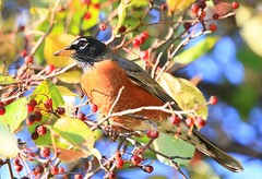 American robin at Lake Meyer Park IA 854A8910 (lreis_naturalist) Tags: american robin lake meyer park winneshiek county iowa larry reis