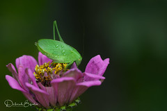 Green dude (dbifulco) Tags: nature droplets garden insect katydid macro male newjersey outdoor pinkflower raindrops wildlife zinnia