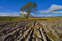 Limestone loner (images@twiston) Tags: malham ash lonesome loner thesolitarytree solitary standing tree limestone pavement malhamdale grikes clints northyorkshire yorkshire limestonepavement lonetree bleak stark fell rock rocks gnarled gnarly dales landscape blue sky white clouds cloud national park yorkshiredalesnationalpark fields grass moors moorland moor nikon14mmf28 nikkor14mmf28 nikonafnikkor14mmf28d 14mm ultrawide superultrawide ultraultrawide ultra wideangle wide angle godsowncountry grykes